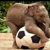Funny Elephant Playing Football