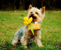 Dog Carrying Basket of Flowers