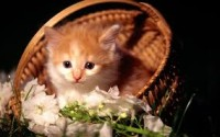 Cat in Basket of Flowers
